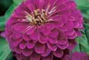 Garden Flower: Zinnia