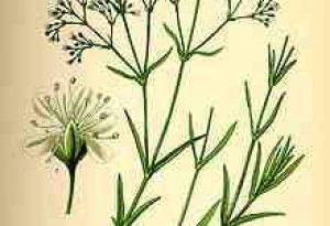 Garden Flowers: Gypsophila
