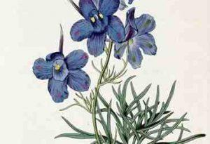 Garden Flower: Larkspur