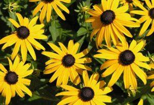 Garden Flowers: Rudbeckia