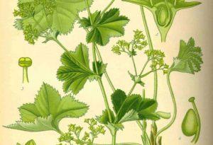 Garden Flower: Alchemilla Mollis