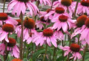 Garden Flowers: Echinacea