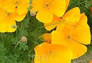 Garden Flower: Californian Poppy