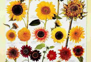 Garden Flower: Sunflowers