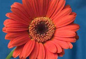 Garden Flower: Gerbera