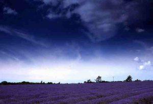 Garden Flowers: Lavender