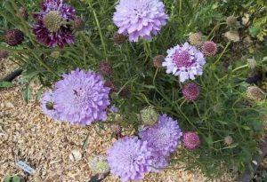 Garden Flower: Scabiosa