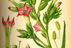 Garden Flower: Nicotiana