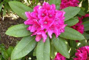 The Evil Rhododendrons