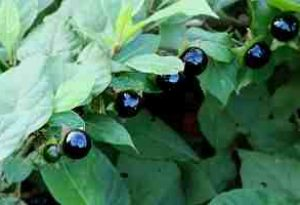 Deadly Nightshade Berries