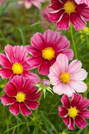 garden design with garden flower cosmos higgledy garden with courtyard gardens from higgledygardencom
