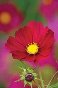 Garden Flowers Cosmos