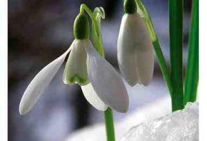 Garden Flower: Snowdrop