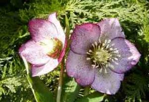 Garden Flower: Christmas Rose