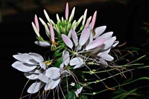 garden flower cleome spinosa