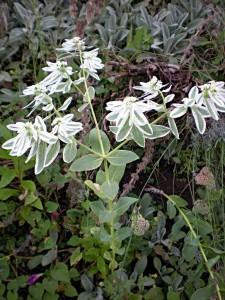 garden flower Euphorbia marginata