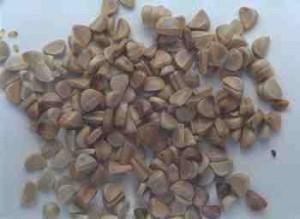 limonium statice