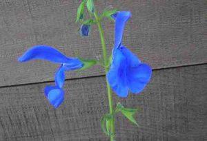 Garden Flower: Salvia Patens (Gentian Sage)
