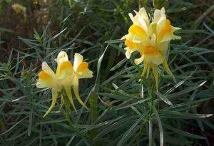 Garden Flower: Linaria (Toadflax)