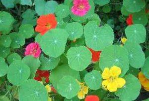 Edible Flowers, Nasturtium.