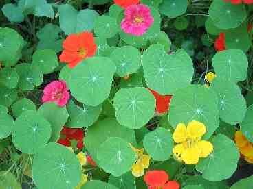 Edible Flowers Nasturtium Higgledy Garden,Lemon Drop Shots Recipe