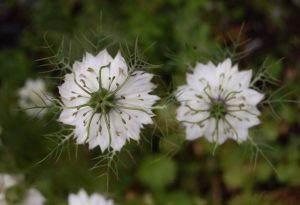 Nigella. Love in the Mist. Lust in the Dust.