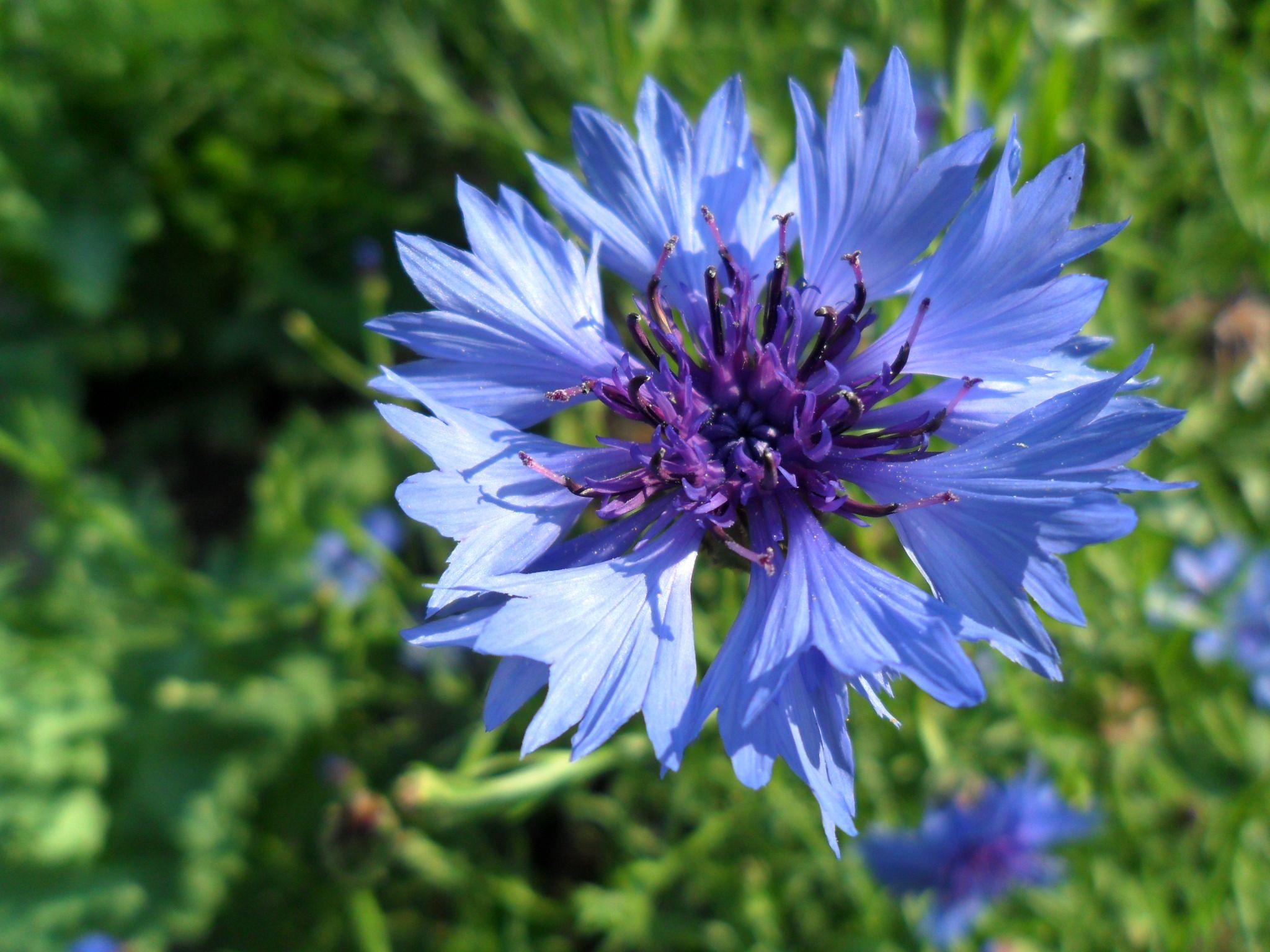 Цветы синие неприхотливые