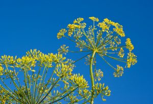 Anethum Graveolens. Dill.