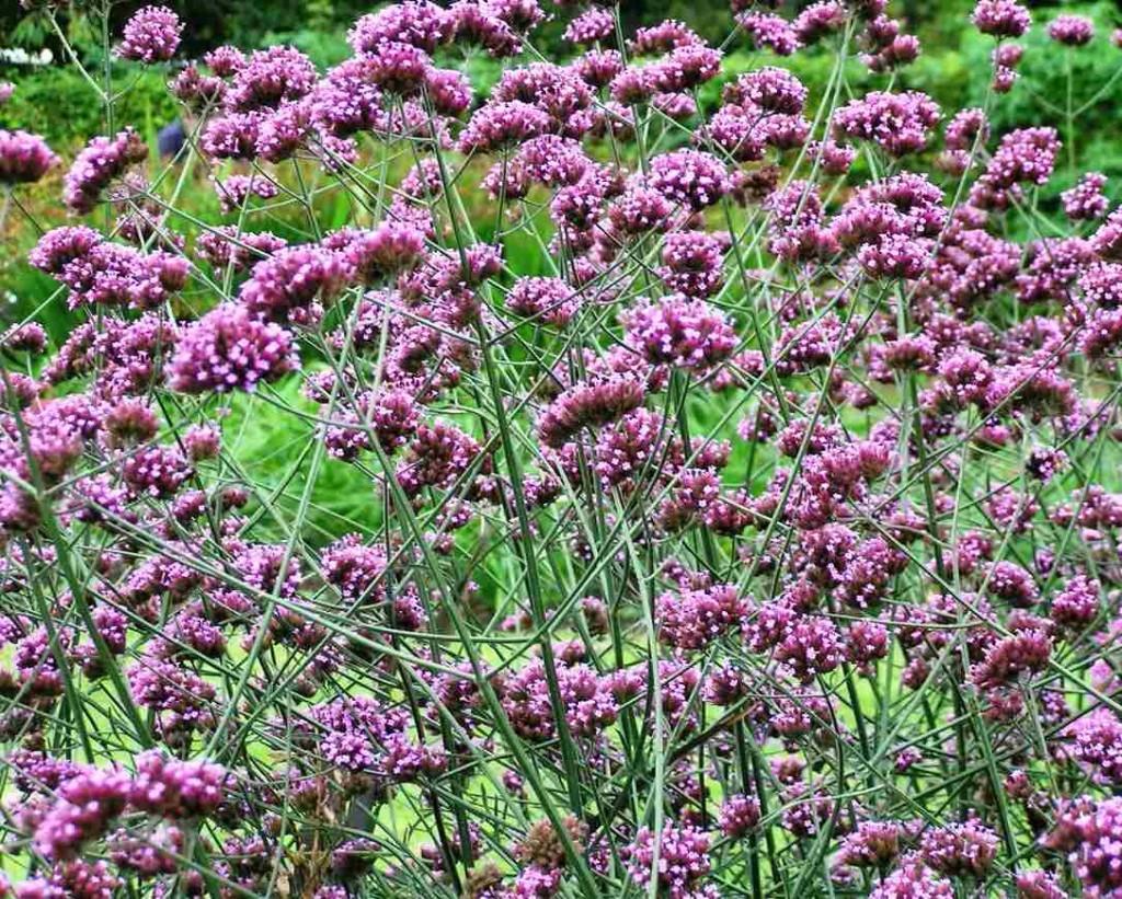 Verbena bonariensis – Higgledy Garden