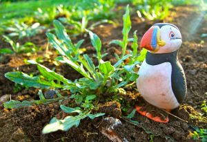 Dirty Puffin Gets Blown Off Course To The Higgledy Garden.