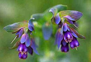 Cerinthe major 'Purpurascens'. Honeywort.