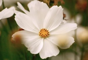 Cosmos 'Purity'.