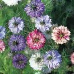 Nigella. Love in the Mist. Persian Jewel Mix.