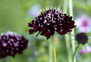 Scabiosa. Pincushion Flower.