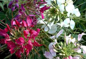 Cleome Spinosa. Spider Plant.