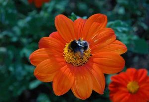 Tithonia rotundifolia. Mexican Sunflower.