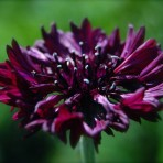 Centaurea Cynus. Cornflowers. Black Ball.