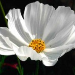 Cosmos. 'Purity'.