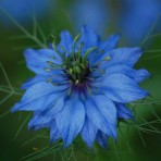 Nigella. Love in the Mist. Miss Jekyll, Light Blue.