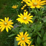 Rudbeckia. Black Eyed Susan. 'Irish Eyes'