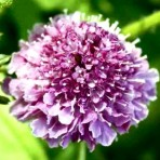Scabiosa. Pincushion Flower. Tall Crown Mix.