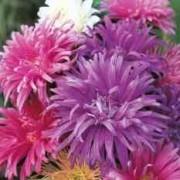 aster-ostrich-plume-seeds