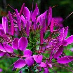 Cleome Spinosa. Violet Queen.