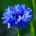 Centaurea Cynus. Cornflowers. 'Blue Ball'