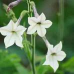 Nicotiana. 'White Trumpets'.