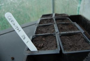 Started sowing Cerinthe Major.