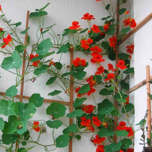 Climbing nasturtium. HG ones are mixed colours.