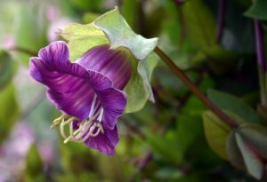 Cobaea Scandens. Cup and Saucer flower.