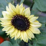 Helianthus. Sunflower. 'Valentine'.