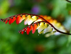Mina Lobata 'Exotic Love'